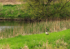 Canadian Goose. A Canadian goose makes her home at a secluded pond royalty free stock images