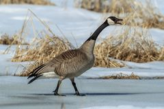 Canadian goose making a racket. Stock Image