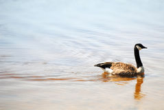 Canadian Goose at Malaga Lake, New Jersey Royalty Free Stock Photography