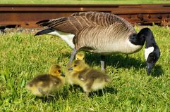 Canadian goose mama pinching grass with 3 babies sunbathing nearby. One chick is peeking behind the others. Spring or summer. Side view royalty free stock photos