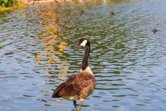 Canadian goose next to the pond at sunset royalty free stock photography