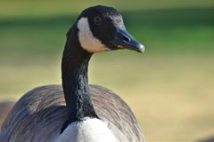Canadian Goose, NW Oklahoma City. Canadian Goose, feeding next to a pond in Northwest Oklahoma City i Stock Photos