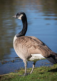 Canadian Goose Royalty Free Stock Image