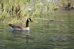 Canadian goose paddling. A single canada goose paddling on the water. There is tall grasses in the background. The water is calm Stock Photography