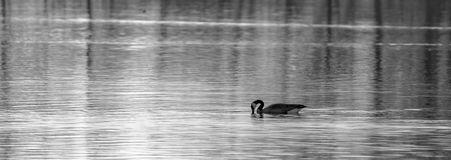 Canadian Goose Panoramic. Black and white photo of a Canadian goose branta canadensis swimming in a lake Stock Photos