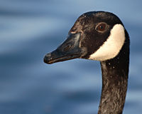Canadian Goose Portrait. A Canadian Goose portrait against a soft blue background Royalty Free Stock Photos