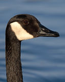 Canadian Goose Portrait. A portrait of a Canadian Goose along a lake in New Mexico Royalty Free Stock Images