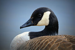 Canadian Goose Portrait. A portrait of a Canadian Goose at the Chicago Botanical Gardens Stock Images