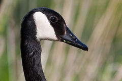 Canadian Goose Portrait Royalty Free Stock Photography