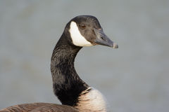 Canadian Goose Portrait with vivid eyes side  profile shoulders Royalty Free Stock Images