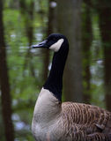 Canadian Goose. Posing for his picture on the banks of the lake at Swan Lake and Iris Gardens in Sumter, SC in Spring Stock Image