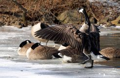 Canadian Goose preparing to take flight on a frozen lake. A Canadian goose spreads it wings and prepares to take flight on a frozen lake Stock Photos