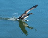 Canadian Goose preparing to take off from the water. At Lake Renwick Preserve in Plainfield, Illinois stock photos