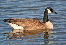 Canadian Goose with Reflections. A Canadian Migrant Goose swimming at local pond in Willowbrook,IL Stock Images