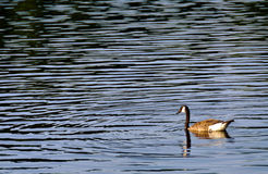 Canadian Goose and ripples on a lake Stock Image