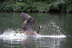 Canadian Goose on a river Stock Photography