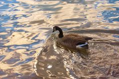 Canadian Goose on River Royalty Free Stock Image