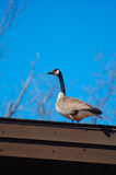 Canadian goose on roof Stock Photos