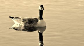 Canadian Goose in Sepia. Canadian Goose on a lake in Sepia tone Royalty Free Stock Images