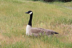 Canadian goose sitting in grass Stock Images