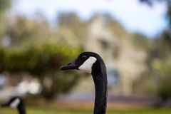 Canadian Goose in a Southern California park Stock Photo