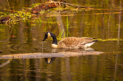 Canadian goose in the spring Stock Photos