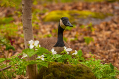 Canadian goose in the spring Stock Image
