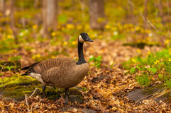 Canadian goose in the spring Royalty Free Stock Photo