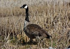 Canadian goose. Standing Canadian goose in marsh Royalty Free Stock Images