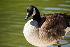 Canadian Goose Royalty Free Stock Images