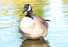 Canadian Goose standing in water Royalty Free Stock Photo