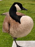 Canadian Goose stands on bench one leg up royalty free stock photo