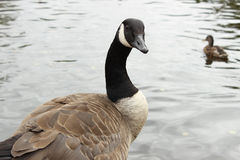 Canadian Goose Staring Royalty Free Stock Photography