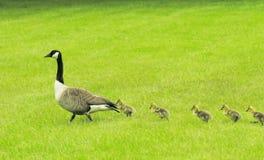 Canadian Goose and Straggler, Virginia Stock Image
