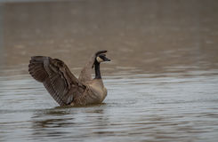Canadian goose. A Canadian Goose stretches its wings after a long migration Royalty Free Stock Photo