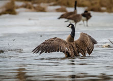 Canadian goose. A Canadian Goose stretches its wings after a long migration Stock Photography