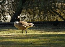 Canadian Goose Strutting in Park Stock Photography