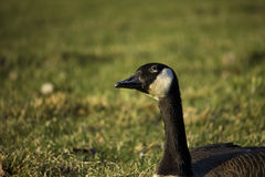 Canadian Goose in the sun Stock Photography
