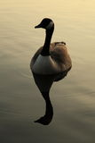 Canadian Goose at Sunset. Canadian Goose with Reflection swimming at Sunset Royalty Free Stock Photo
