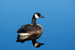Canadian Goose swimming Stock Image