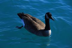 Canadian goose swimming freely in the clear lake water royalty free stock images