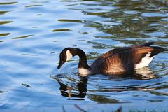 Canadian goose in a pond royalty free stock image