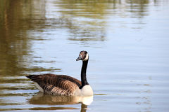 Canadian goose swimming in pond Stock Photo