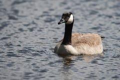 Canadian Goose swimming Stock Image