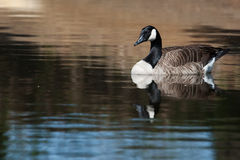 Canadian Goose swimming Royalty Free Stock Image