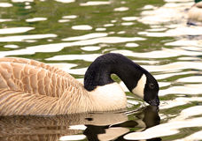 Canadian Goose swimming Royalty Free Stock Photography