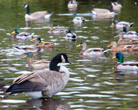Canadian Goose swimming Stock Images