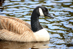 Canadian Goose swimming Royalty Free Stock Photo