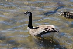 A canadian goose swims on the calm flat water royalty free stock photos