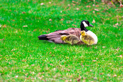 Canadian Goose and two Chics. Adult Canadian goose Branta canadensis with two of its chicks Stock Photos